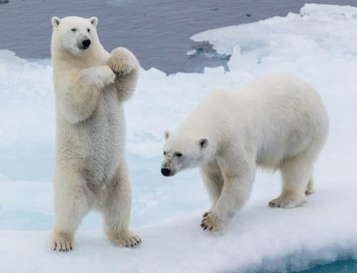 Schnarchen wie ein Bär oder wie eine Bärin